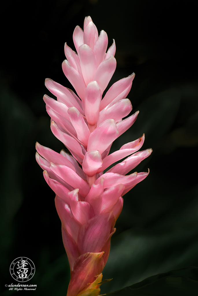 Pink Ginger (Alpinia purpurata) flower with glowing petals.