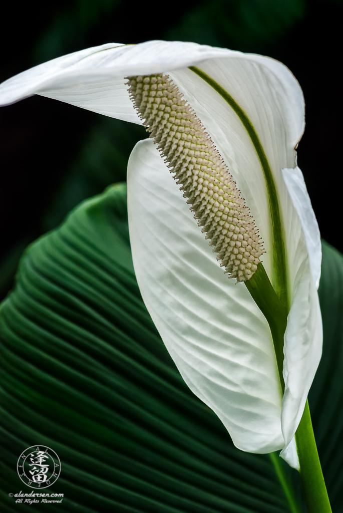Waxy white anthurium flower unfurling against dark green background.