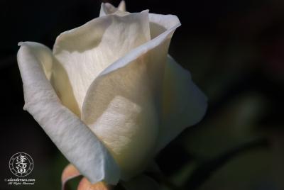 Bud of white rose beginning to unfurl.