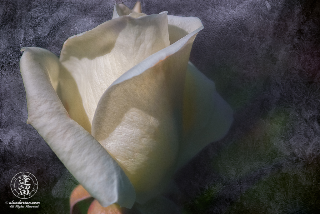 A composite image of a white rose bud beginning to unfurl set against a textured background of tinted lace.