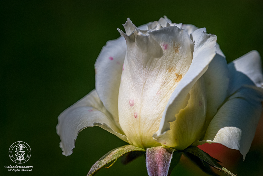 Aide-lit closeup of a white rose bud unfurling against dark green background.