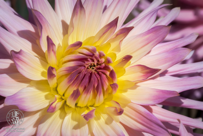 Unfurling pink and yellow hybrid dahlia blossom.