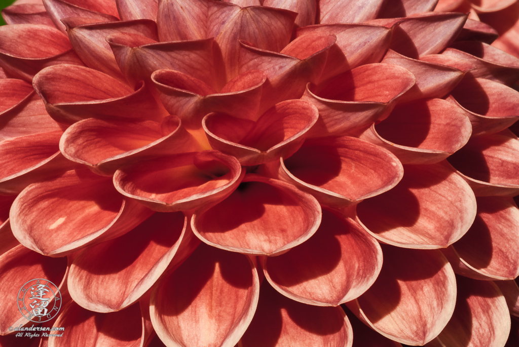 Closeup abstract of cascading scallops of folded red dahlia petals.