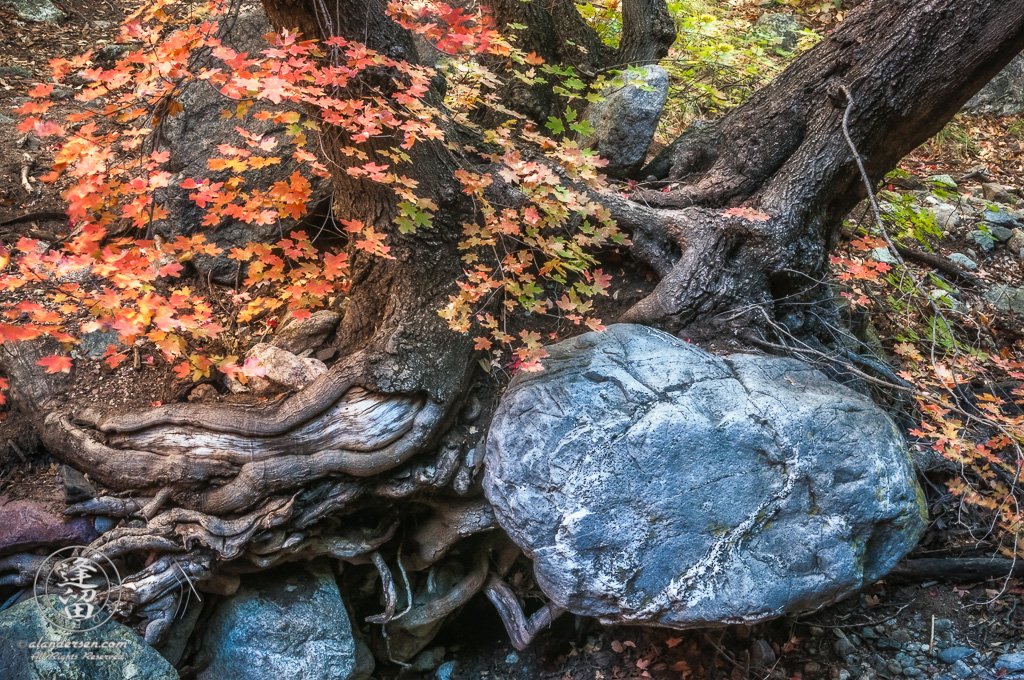 Oak tree roots embracing a boulder.