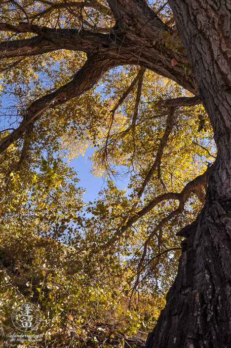 Grand olde Cottonwood tree arching sinuously toward sky.