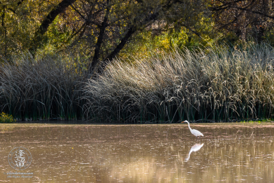 White Egret fishing for meal in golden pond waters.