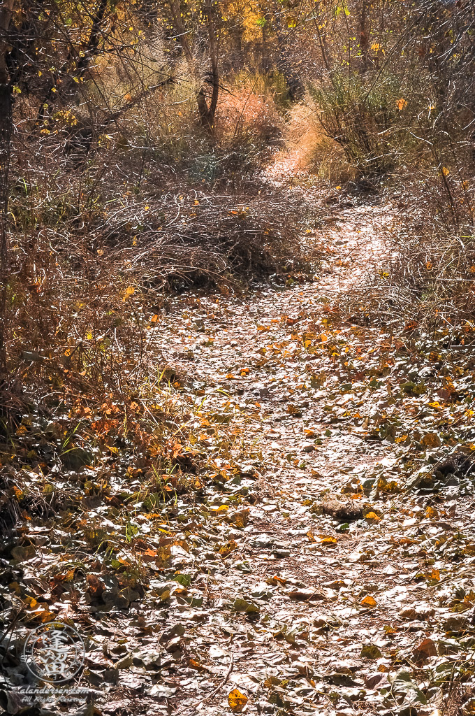 Glittering path of cottonwood leaves weaving through backlit shrubs and grasses.