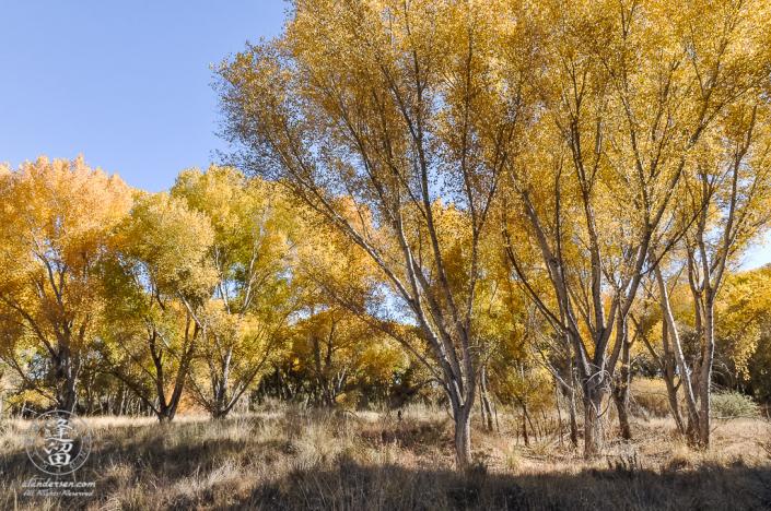 Brilliant yellow cottonwoods set against bright blue sky.