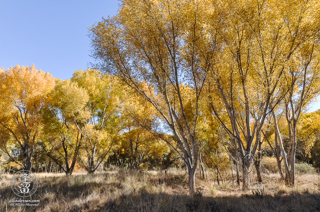 Brilliant yellow cottonwoods set against bright blue sky.