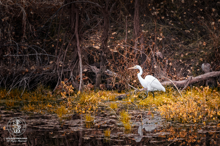 White egret walking through yellow wildflowers looking for meal.