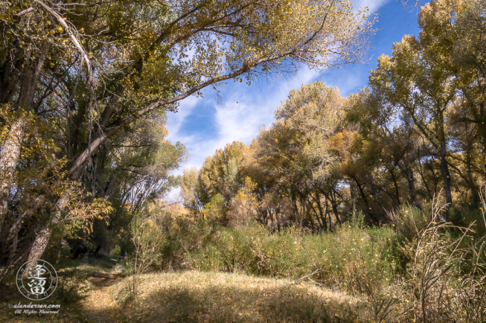 Cottonwood trees dropping their Autumn leaves.