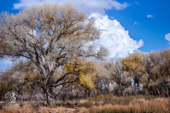 Mighty cottonwood tree crowned by cumulus cloud.