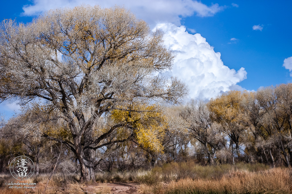 Mighty cottonwood tree crowned by cumulus cloud.