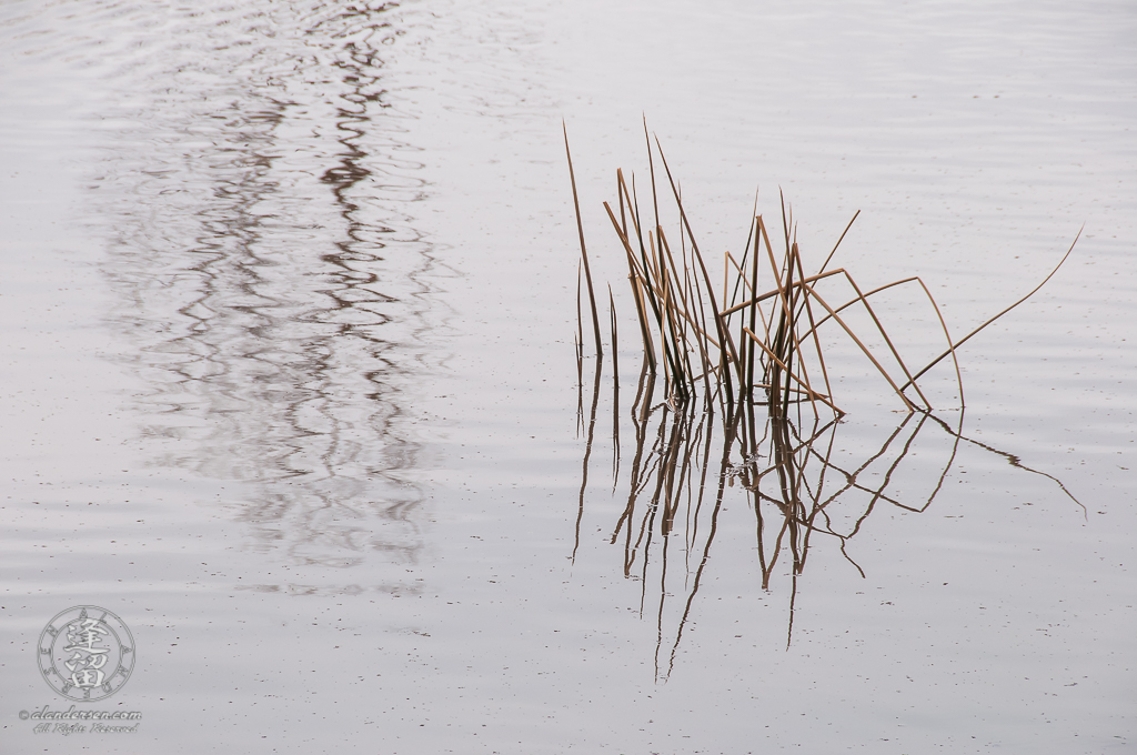Green water reeds and wind ripples on a gray pond.