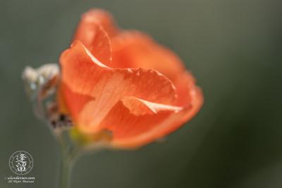 Delicate back-lit petals of an orange globemallow (Sphaeralcea) wildflower.