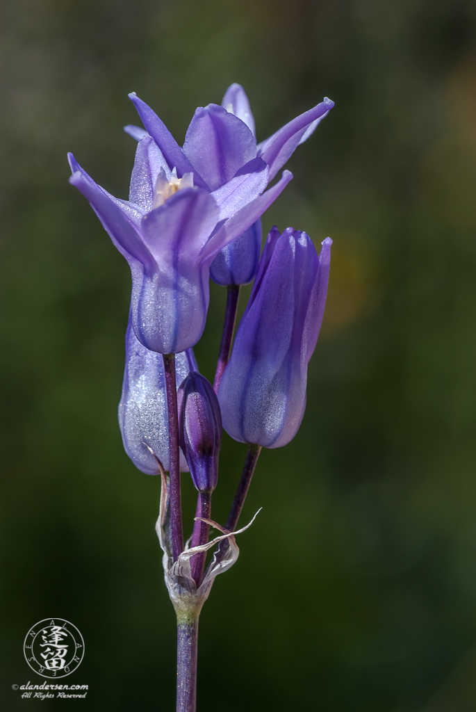 Closeup of a Desert Hyacinth (Dichelostemma capitatum) flower.