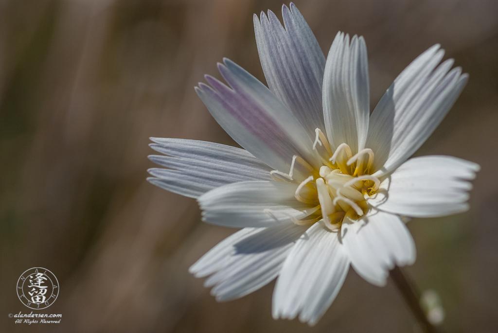 Closeup of Desert Chicory (Rafinesquia neomexicana) flower.