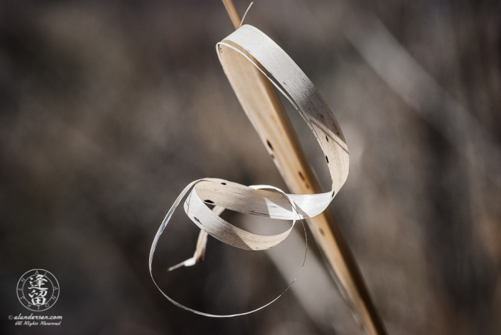 Closeup abstract of large grass blade looking like twisted ribbon.