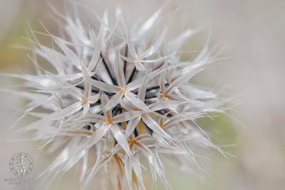 Hi-key macro closeup of Lindley's Silverpuffs (Microseris lindleyi).
