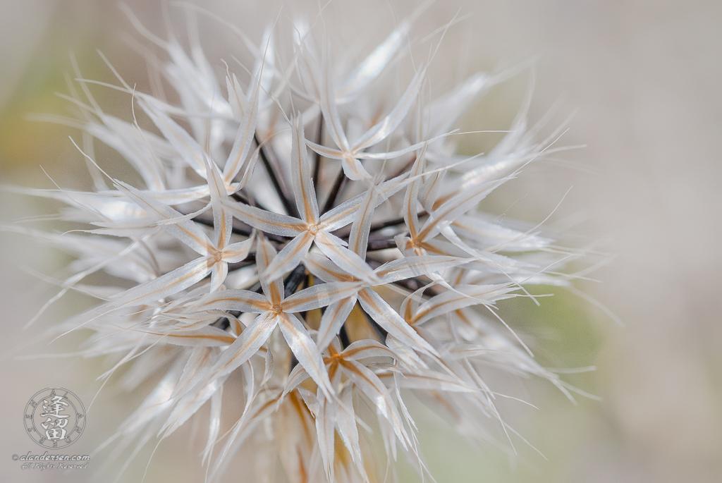 A hi-key closeup image of a Lindley's Silverpuffs (Microseris lindleyi).