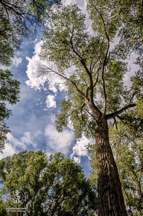 Tall Cottonwood Tree (Populus Fremontii) reaching up toward the sky.