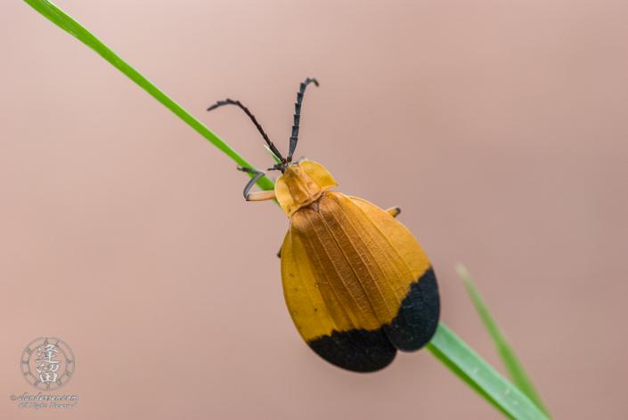 Closeup of Net Winged Beetle (Lycus arizonensis) crawling up grass blade.