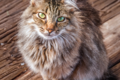 Stray long-haired cat with large green eyes sitting on boardwalk.