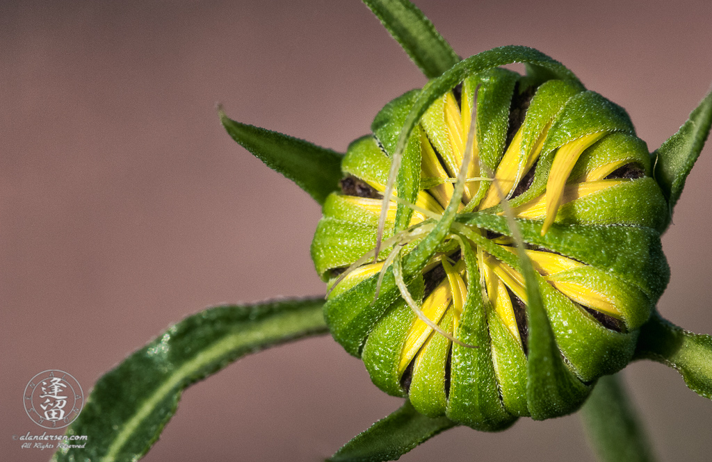 Closeup image of Common Sunflower (Helianthus annuus) bud beginning to unfurl.