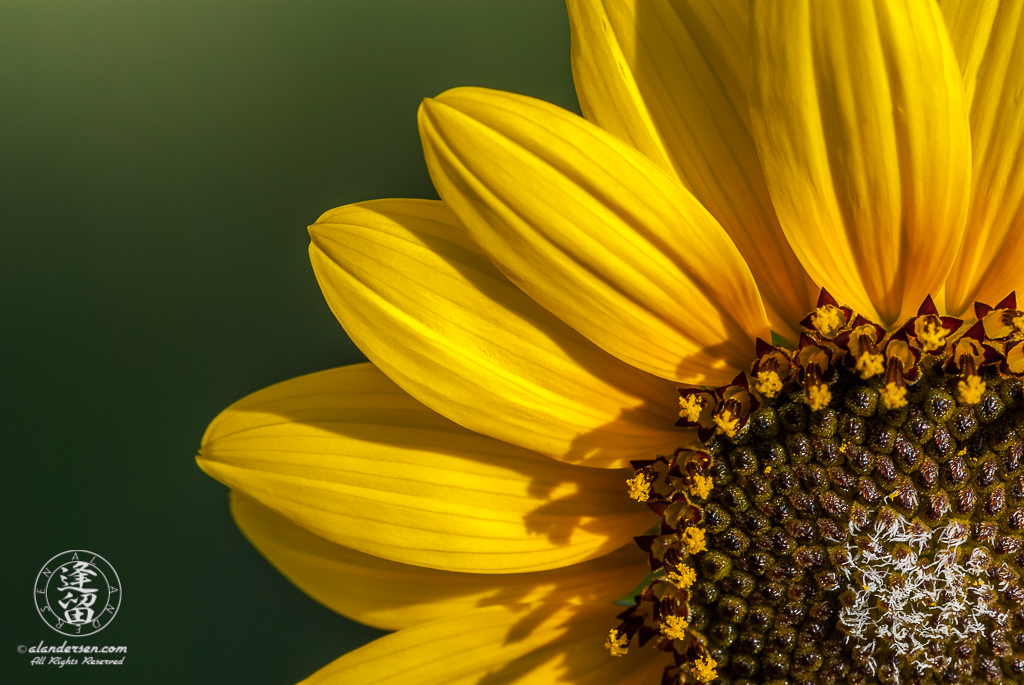 Common sunflower with petals radiating from lower right corner of image frame.