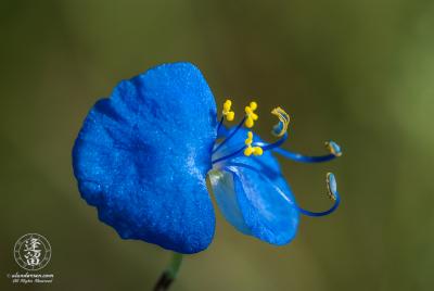 Erect Dayflower (Commelina erecta) closeup in early morning light.
