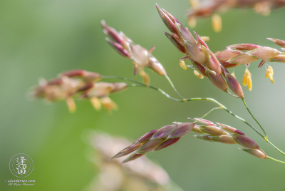 Fruiting grass seeds of pink and purple set against green background.