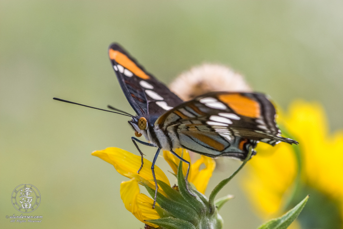 California Sister (Adelpha californica) Butterfly atop a composite wildflower.