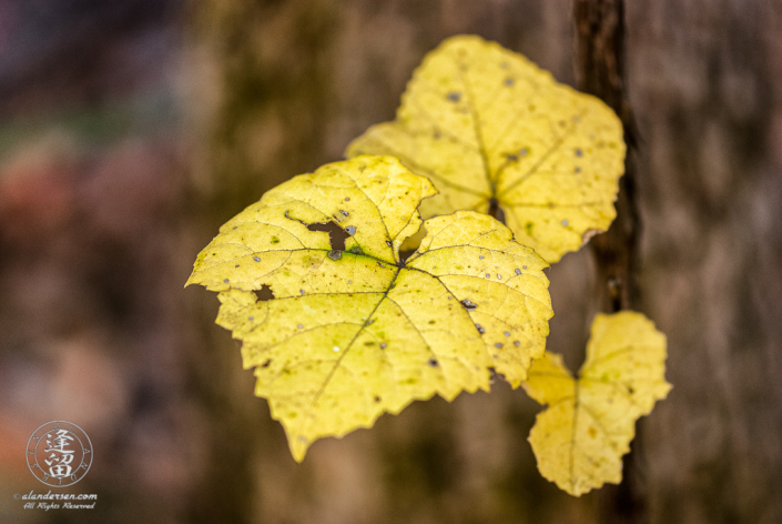 Canyon Grape (Vitis arizonica) leaves, turned bright yellow in Autumn,