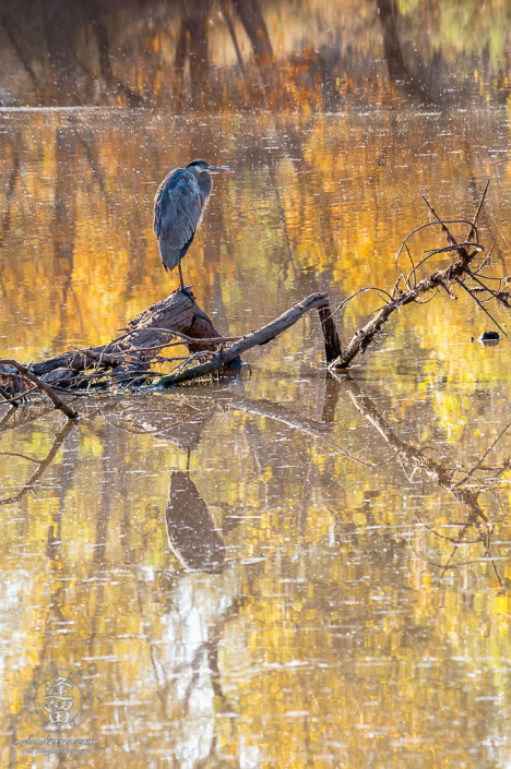 Great Blue Heron perched on pond log with water reflecting Autumn colors.