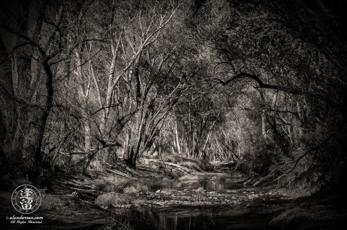 Cottonwood trees arching over the San Pedro River.