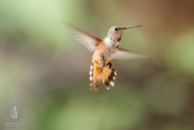 Male Rufus Hummingbird (Selasphorus rufus) hovering.
