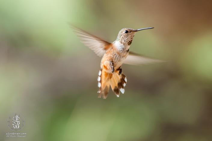Male Rufus Hummingbird (Selasphorus rufus) hovering.