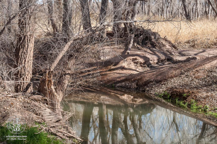 Signs of voracious beavers on the San Pedro River.
