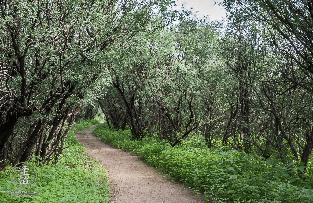 Desert trail winding through green weeds beneath mesquite trees.