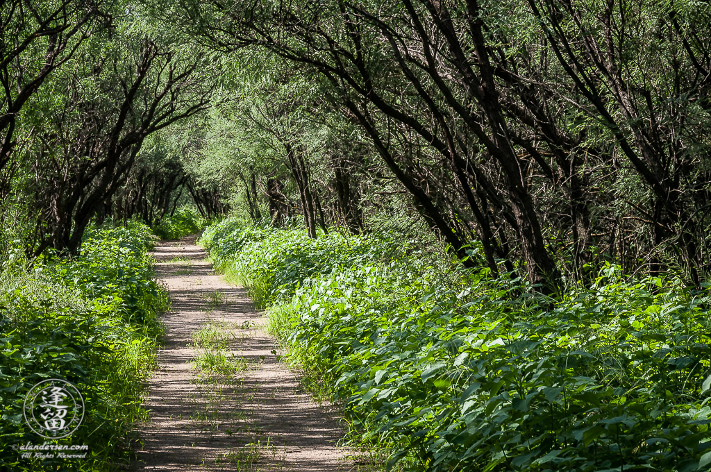 Desert trail winding through thick weeds beneath mesquite trees.