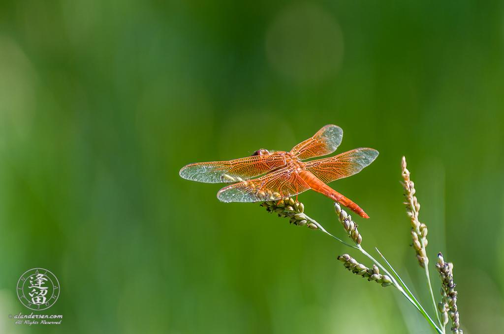Orange Flame Skimmer (Libellula saturata) dragonfly sunning itself.