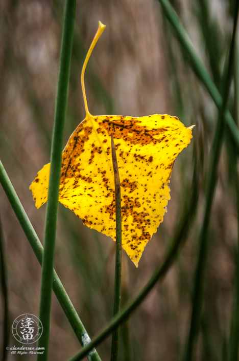 Back-lit yellowed Autumn Cottonwood leaf caught fast by horsetails.