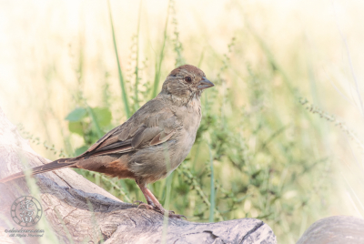 Canyon Towhee (Melozone fusca) perched on Cottonwood log.