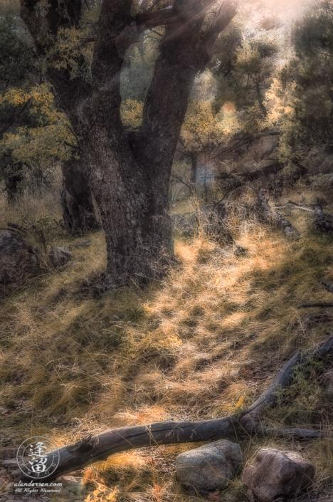 Back-lit Oak tree on hillside in the woods.