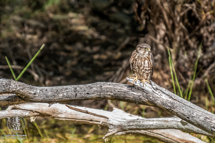 Female Merlin falcon (Falco columbarius) sitting on log.