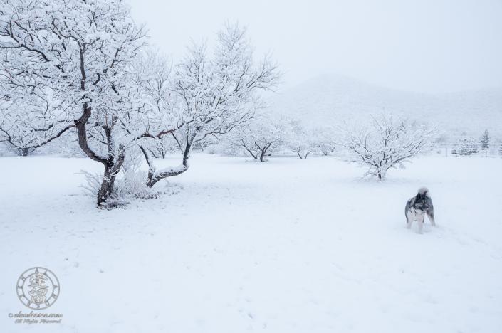 American Akita taking enjoying fresh snowfall.