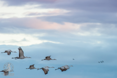 Sandhill Cranes (Grus canadensis) in flight just before sunrise.