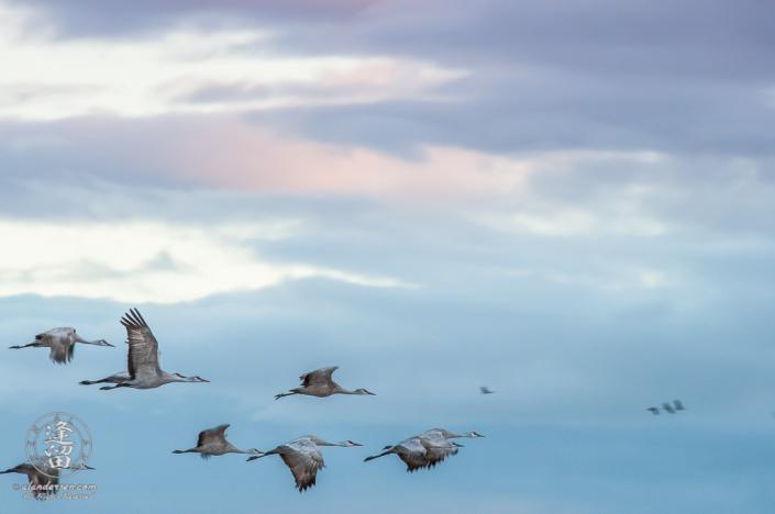 Sandhill Cranes (Grus canadensis) in flight just before sunrise.