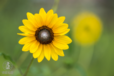 Common sunflower (Helianthus annuus) under diffuse light of cloudy day.