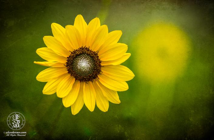 Common Sunflower (Helianthus annuus) under diffuse light on textured layer.